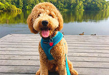 a golden doodle sits on a dock in front of water