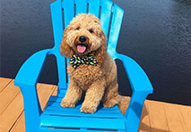 a golden doodle sits on a blue adirondack chair on a dock