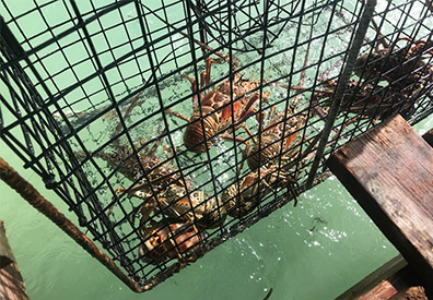 lobsters in trap
