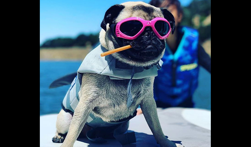 a pug wearing pink sunglasses and a life jacket sitting on a boat