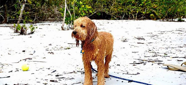 A wet golden doodle stands on the beach