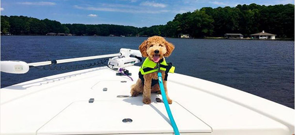 A golden doodle in a green life jacket stands on the bow of a boat with water behind him