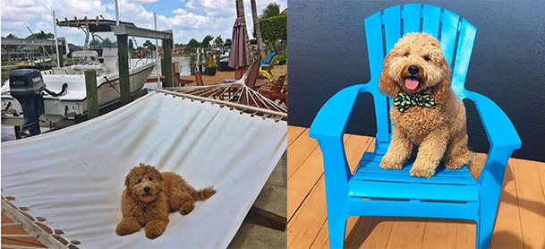 On left, a golden doodle sits on a hammock with a boat in the background. On right, a golden doodle sits on a blue adirondack chair