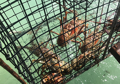 Anegada Lobster in trap