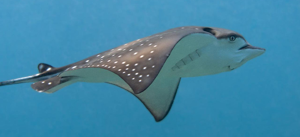 A spotted eagle ray in the water