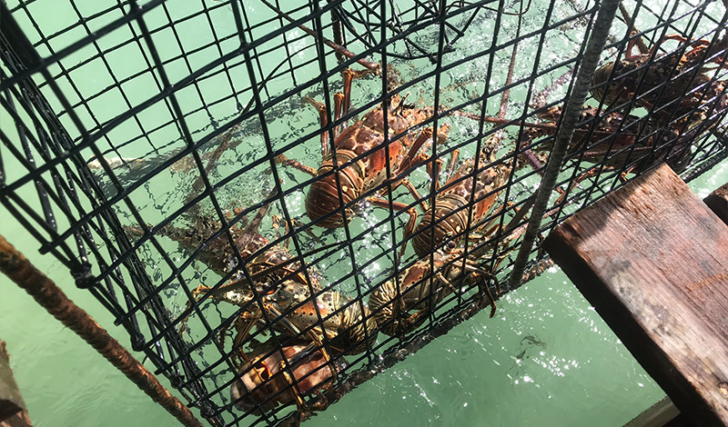 Anegada lobsters in a trap over the water