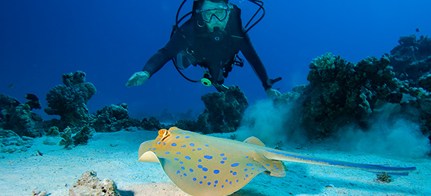 A scuba diver swims above a sting ray on the sea floor