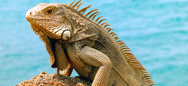 A close-up shot of an iguana on a rock, with water in the background