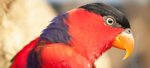Red black and purple parrot